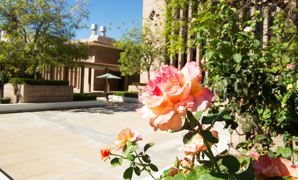 Rose blooming on campus