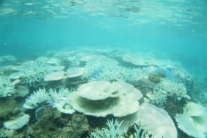 A highly bleached coral reef in the Pacific Ocean. Photo courtesy of James Reimer and Takuma Fujii