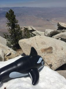 Shamu perched on a patch of snow on Mt. San Jacinto