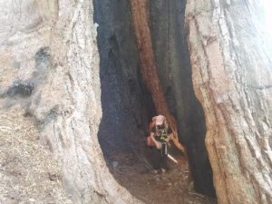 A student carrying an orange backpack hikes through the center of a giant Sequoia