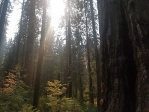 The sun breaks through the coverage illuminating the various species of trees in the image. Red, orange, and green leaves stand out as the sunlight hits them. In the front of the image is a giant sequoia. In the back of the image are skinnier, younger sequoias.
