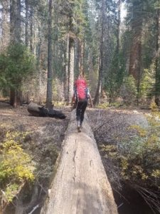 A fallen giant sequoia provides access to the rest of the trail that would have been cut off by a river. A student with a red backpack stands in the center of the image as she crosses the sequoia. On the other side of the natural bridge are various trees of different species, none of which are as large as full grown giant sequoias.