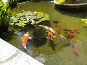 Close-up of lilypads and white, orange, and black koi fish (a few the size of a forearm and some the size of a cucumber)