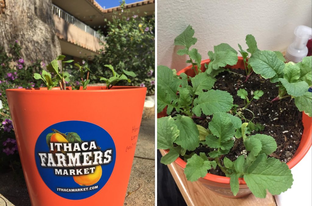 "LEFT: an orange pot with a blue circular ""ITHACA FARMERS MARKET"" sticker and short sprouts sits in a dorm courtyard. RIGHT: top view of radish sprouts in the same pot"