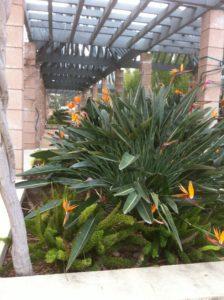 Large bird of paradise plant on Harvey Mudd campus