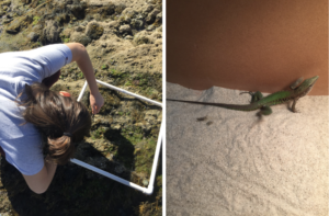 Left: Rachel leans over a square made from pvc pipes and points at organisms on the rocky shore. Right: A green lizard sits on a sandy ground, looking up at the wall of the box it is in.