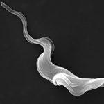 Trypanosoma brucei parasite