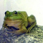 ahn3bullfrog2