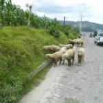 Sheep at side of road.